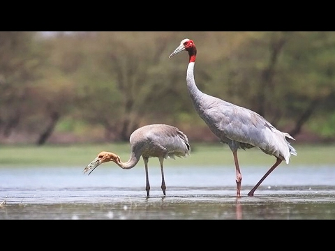 the dancing sarus crane
