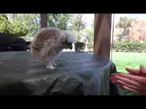 Raising of a Great Horned  Owl