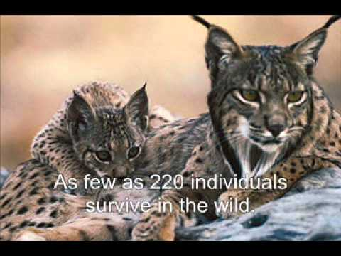 Save the Iberian Lynx