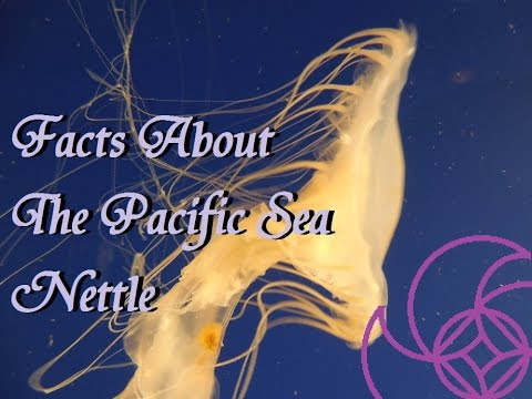 Facts About The Sea Nettle; Aqua Life Episode 6