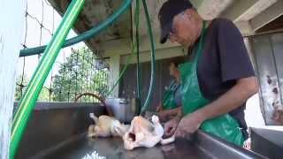Kingbird Farm Chicken Processing