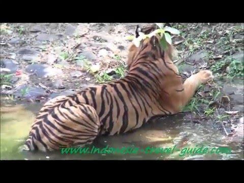 The Sumatran Tiger -  Ragunan Zoo -  Jakarta -  Indonesia