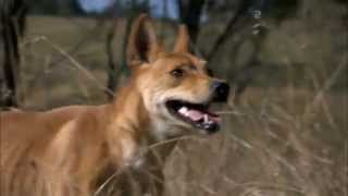 Dingo - Wild Dog at War Trailer