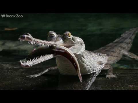 Gharials Return to JungleWorld | Bronx Zoo