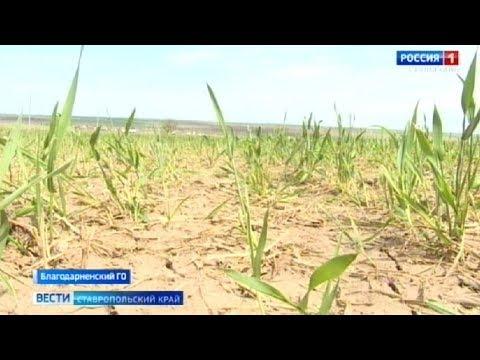 Вопрос: В этом году засуха, какие виды на урожай зерновых .?
