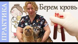 Анализ крови собак. Берем кровь на биохимию. Советы ветеринара.