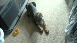 Smart Doberman Pinscher Puppy 8 Weeks Old