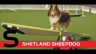 S is for Shetland Sheepdog