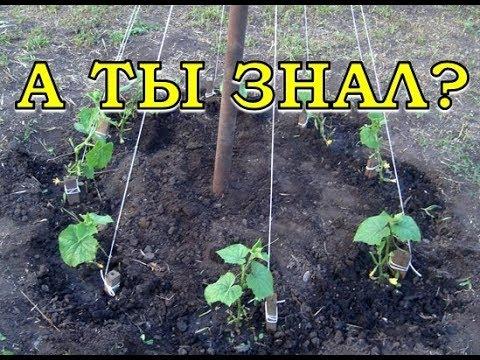 Выращиваем огурцы ЁЛОЧКОЙ