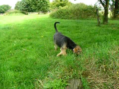 Otterhound Puppy - YouTube