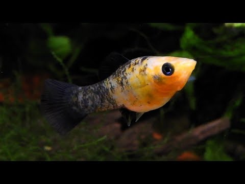 HOW TO BREED MOLLY FISH FAST: HOW TO CARE FOR MOLLY FISH