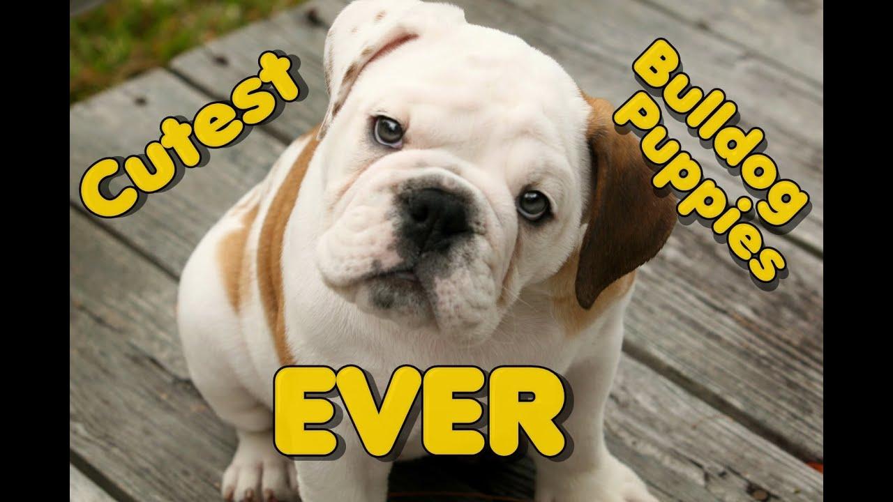 Best Funny Bulldog Puppy pilation So Cute Cutest Puppies