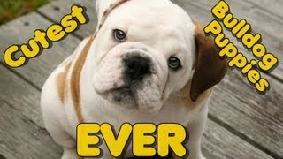 Best Funny Bulldog Puppy Compilation, So Cute , Cutest Puppies Ever