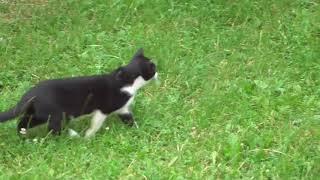 охота кота на голубей