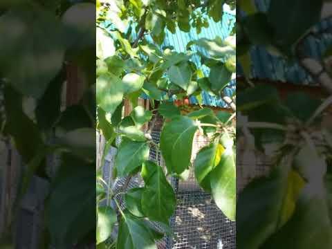 Анлмальная яблоня! На яблоне растет клубника👌