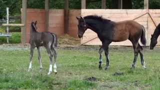 2014 Capone foals playing together.