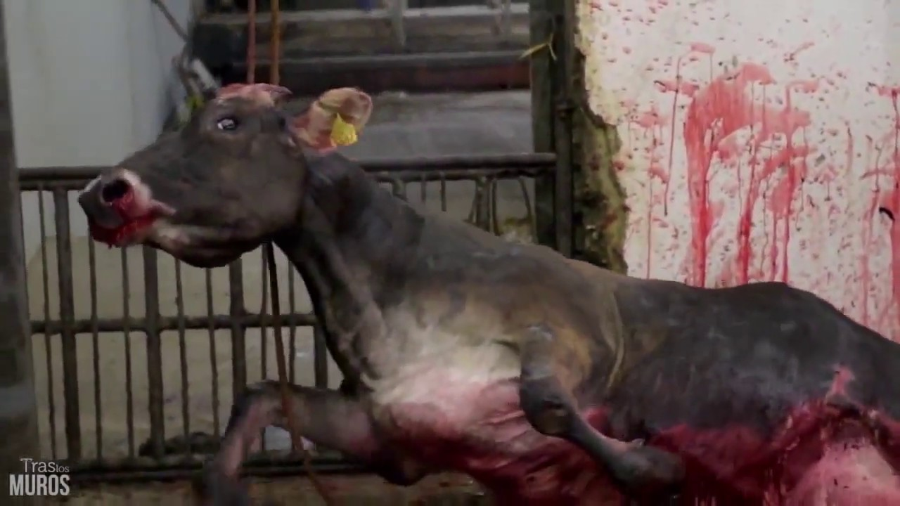 Cow Slaughter - Video Exposing How Cows Are Killed In