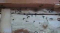 Carpenter Ant Infestation