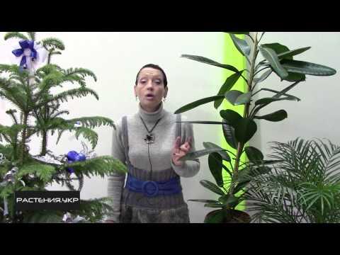 Фикус уход в домашних условиях / Фикус эластика мелани