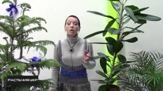 Фикус уход в домашних условиях / Фикус эластика мелани(Фикус (лат. Ficus) — род растений семейства Тутовые (Moraceae), в составе которого образует монотипную трибу Фикусо..., 2014-12-12T10:43:51.000Z)