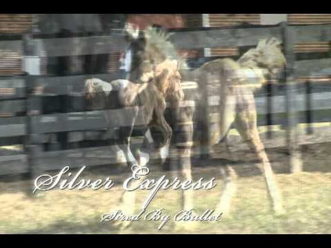 Gypsy Vanner colt Silver Express
