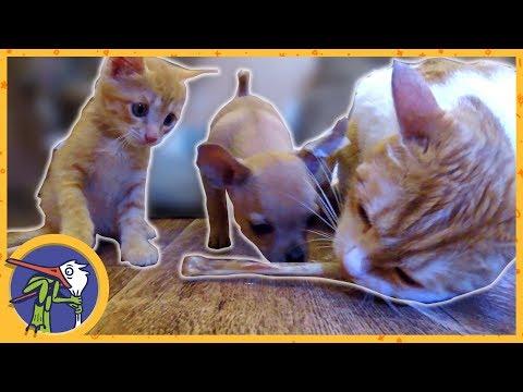 Котик Рыжик, котенок Печенька и щенок Гаффи играют или как забрать косточку у собаки