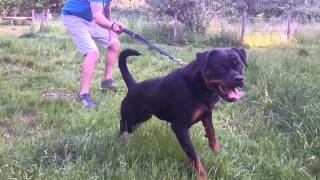 11 Months Female Rottweiler Int Ch Cochise From Royal Breed X Sparta From Naomi Stars