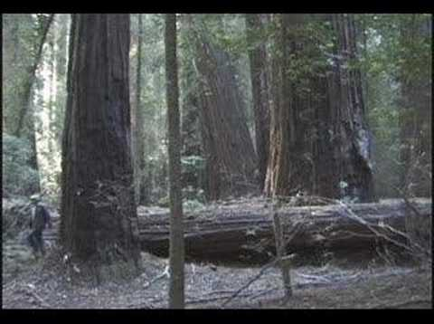 A Summary Of Our Old Growth Redwoods