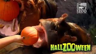 Baby Hippo Fiona gets Pumpkin to Kickoff Hallzooween 2018 - Cincinnati Zoo