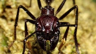 Муравей-пуля | Самый опасный муравей