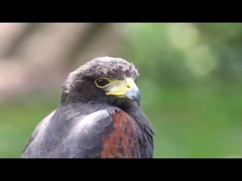 Stunning insight to birds of prey piercing stares - nature's deadly aerial hunters