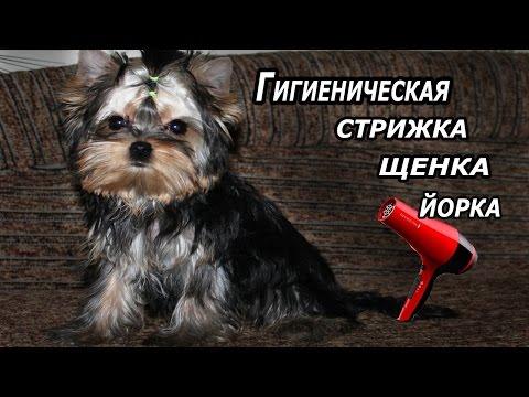 Стрижка йорка (фото - Kot-Pes