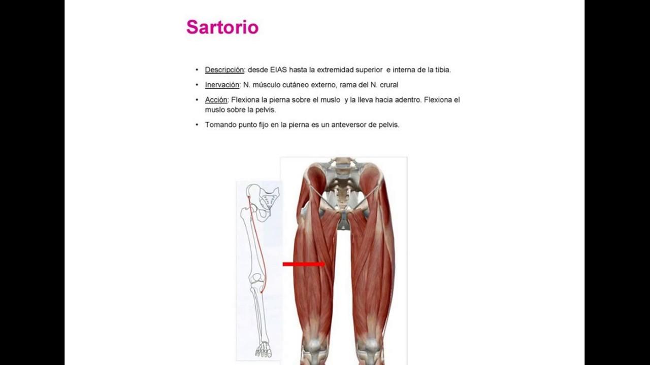 Anatomía humana, Músculos del muslo - YouTube