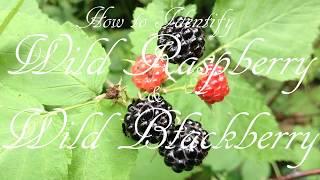 How to Identify Wild Raspberry & Wild Blackberry