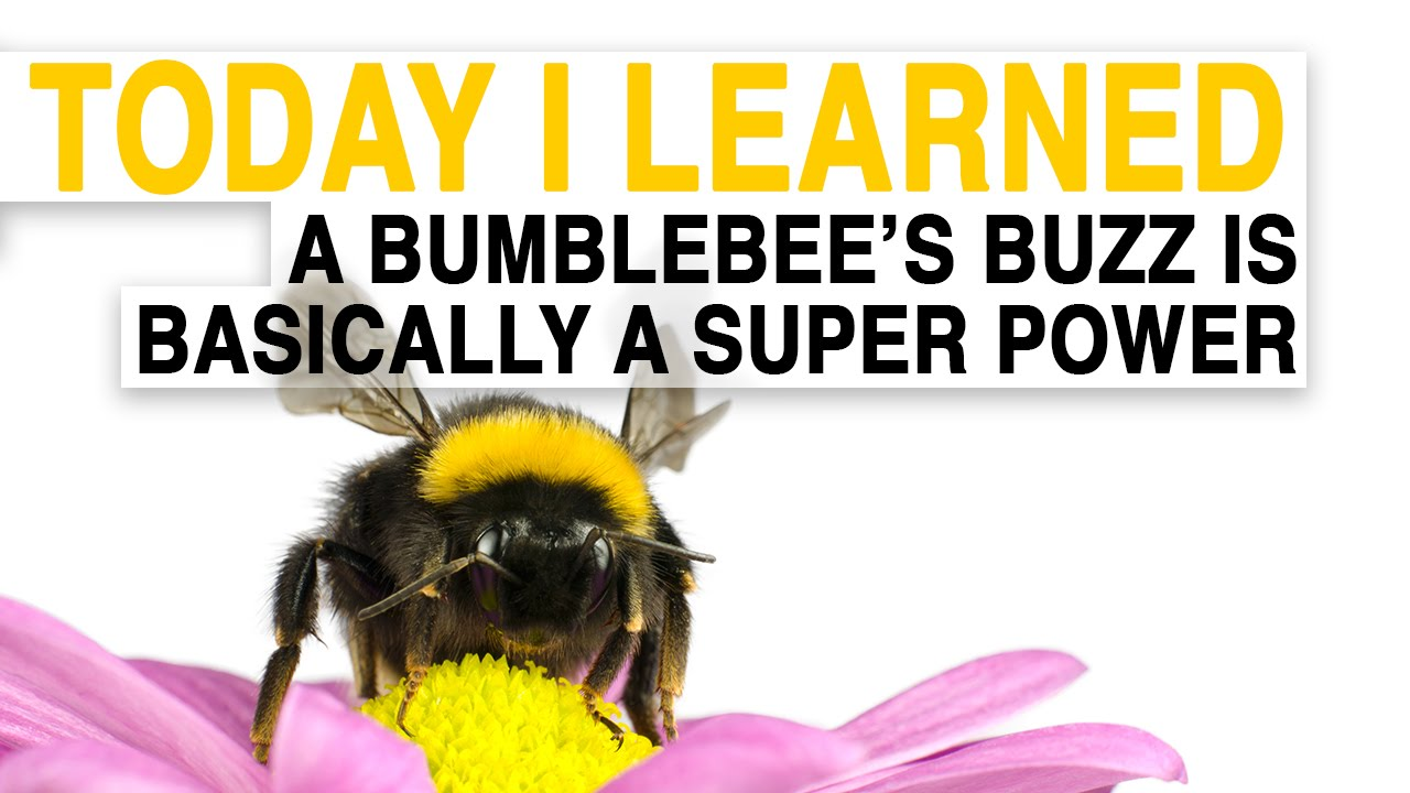 til a bumblebee u0027s buzz is basically a superpower today i