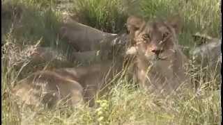 Lwy - dzika przyroda Afryki ,,Safari