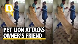 the quint  pet rified think twice before patting a tamed lion