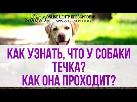 Как узнать, что у собаки течка? Течка у собак её особенность и этапы протекания