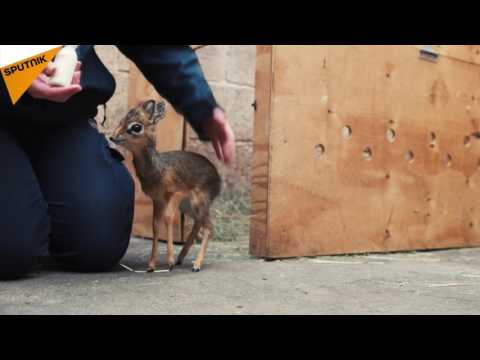 The Cutest Little Animal Ever: Zoo Keepers in Chester Adopt DikDik Antelope