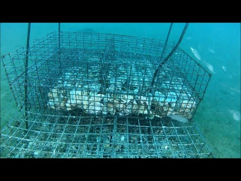Underwater nurseries help revive Mediterranean fish stocks