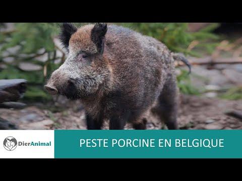 DierAnimal - Peste porcine en Belgique