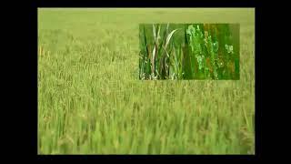 Diseases in Paddy-Bacterial Leaf Blight