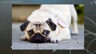 10 Najmniejszych psów świata   SpinkaFun