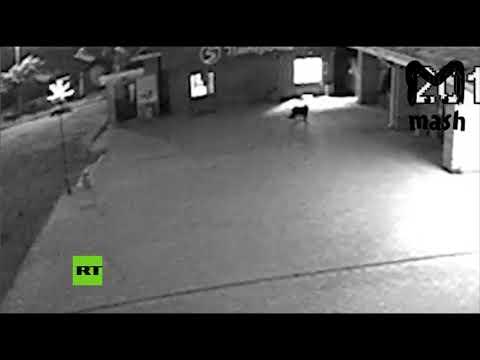 Un perro forma parte de una banda de ladrones rusa