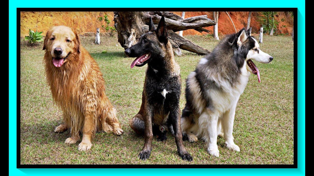Rotina com Cães - Quer mantê-los dentro de casa? Então veja esse vídeo antes..
