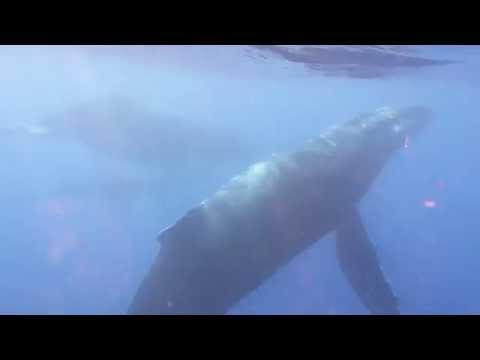 La magie des baleines à bosse et de leur chant...