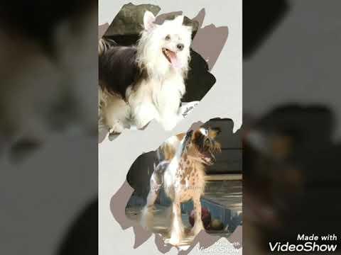 Chinese Crested Dog- tipos de pelagem