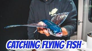 California Flying Fish - Catching them for Bluefin Tuna Bait