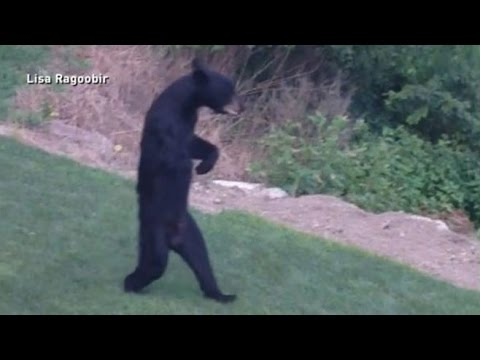 Bear In New Jersey Walking Around Upright Like People
