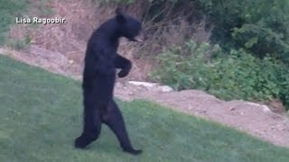 New Jersey s Walking Bear Mystery Solved
